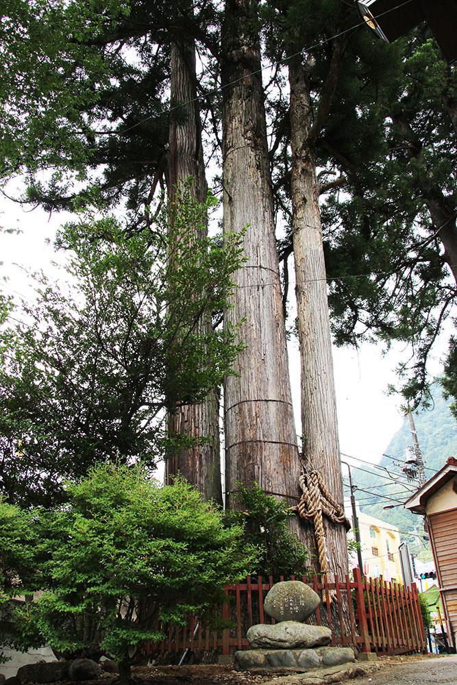 樹齢700年、東京都の指定天然記念物「氷川の三本杉」