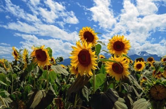 北杜市明野サンフラワーフェスでは約60万本のひまわりが咲く