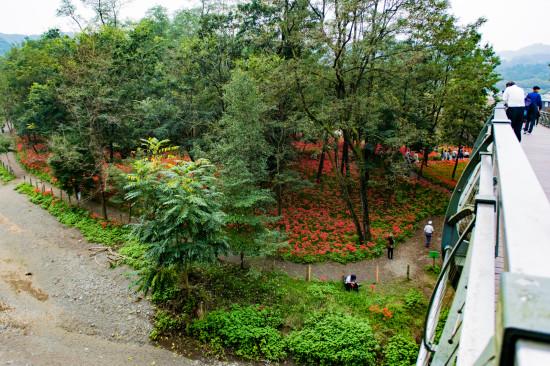 あいあい橋から下を覗くと林の中が真っ赤!