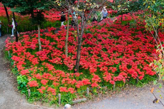 地面を埋め尽くすように咲く曼珠沙華