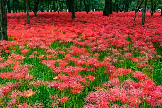 一面に咲き乱れる曼珠沙華はさながら赤い絨毯のよう