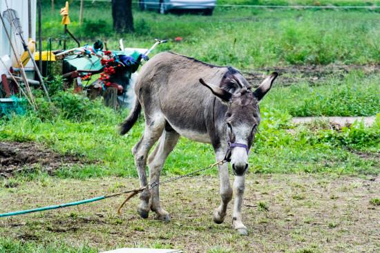 巾着田内では馬やポニーが飼育されている。有料で餌やりも可