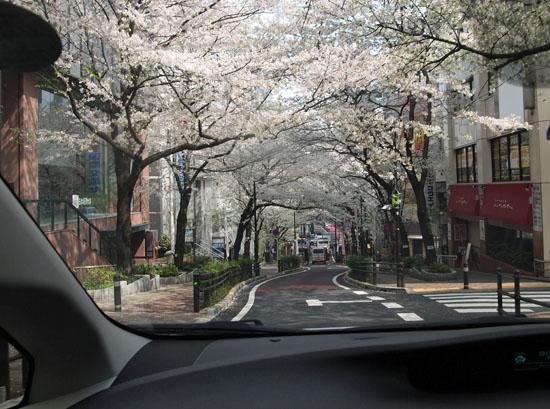 きれいな桜並木の下をドライブ
