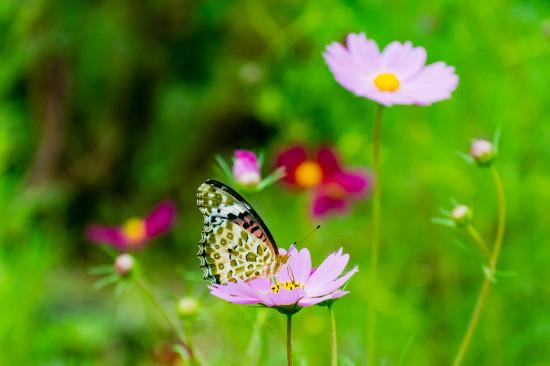 コスモスとその液を吸う蝶のかわいさときたら!