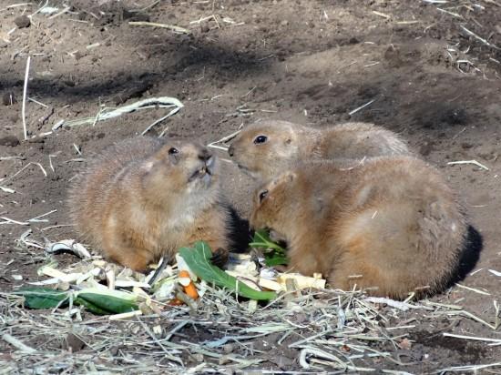 プレーリードッグやレッサーパンダ、オタリアなどが見られる本格的な動物園です