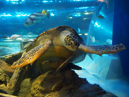 愛らしいウミガメは人気者