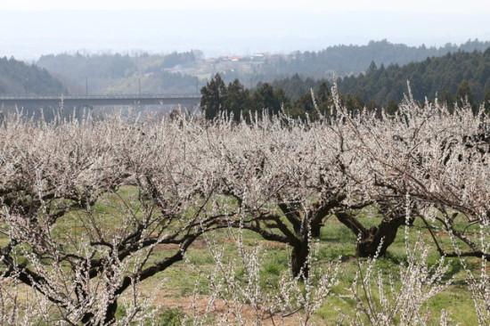 梅の産地群馬のぐんま三大梅林の一つ箕郷梅林