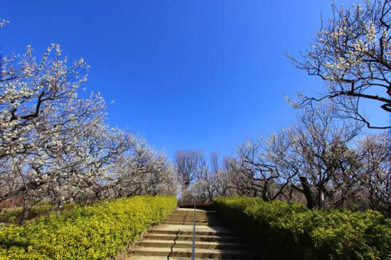23区内でも梅が楽しめる羽根木公園