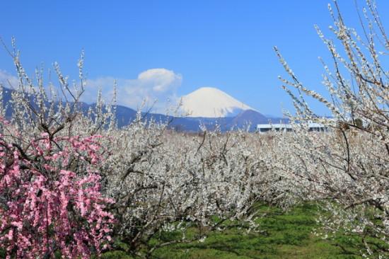 曽我梅林からの富士山