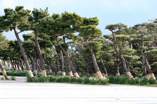 背が低く同じ方向に傾く松の木