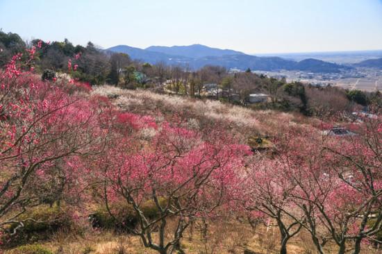 筑波山の中腹に広がる梅の花
