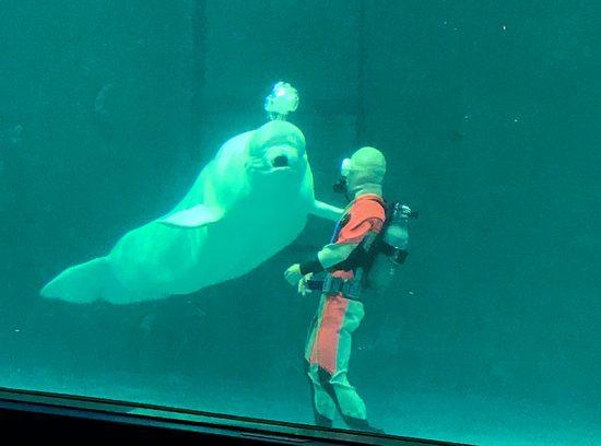 国内でも珍しいベルーガ(白イルカ)のショー