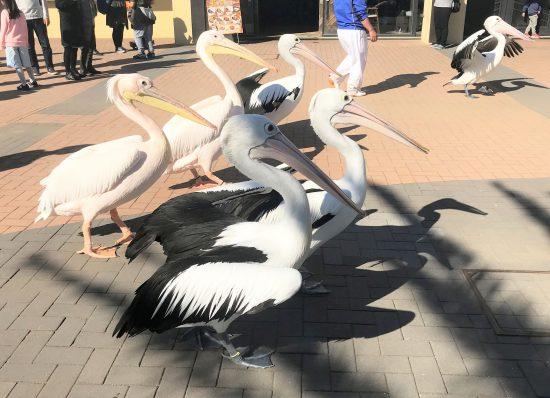 ペリカンのお散歩姿が見られる「ペリカンのガイダンス」