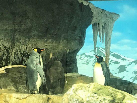 デビューしたばかりのペンギンの赤ちゃん(真ん中)も見ることができました。