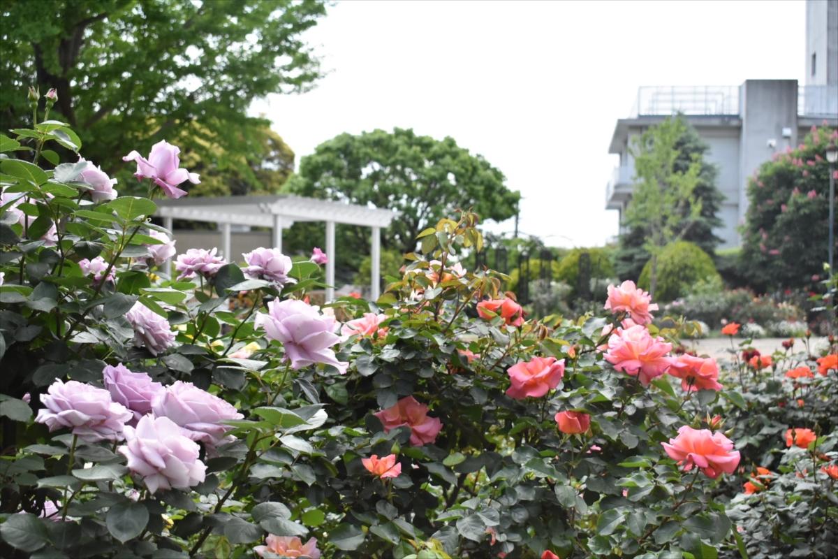 色とりどりのバラの花がとってもきれい