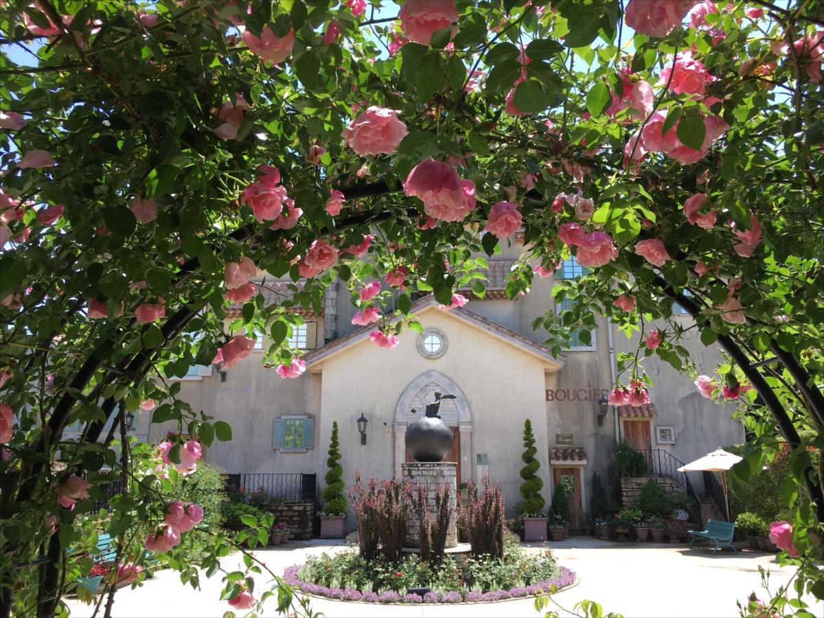 開花に向けて準備中のバラ。その年の気候にもよるが、見ごろは6月から7月にかけて(画像:星の王子さまミュージアム)