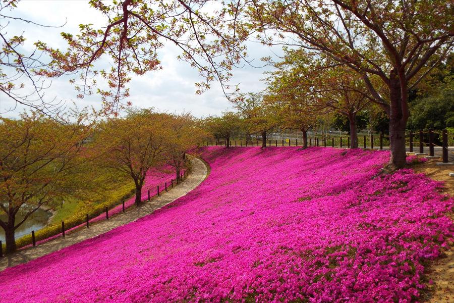 薄いピンクの桜の下には、芝桜の濃いピンクが映える