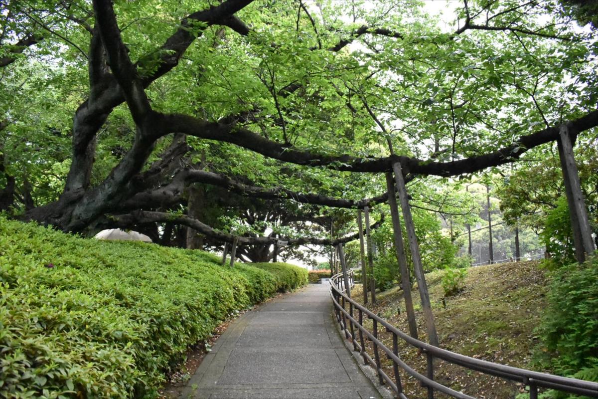 春には桜のトンネルが見られる