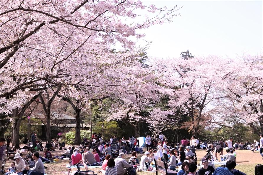 第1公園広場。毎年多くの花見客でにぎわう