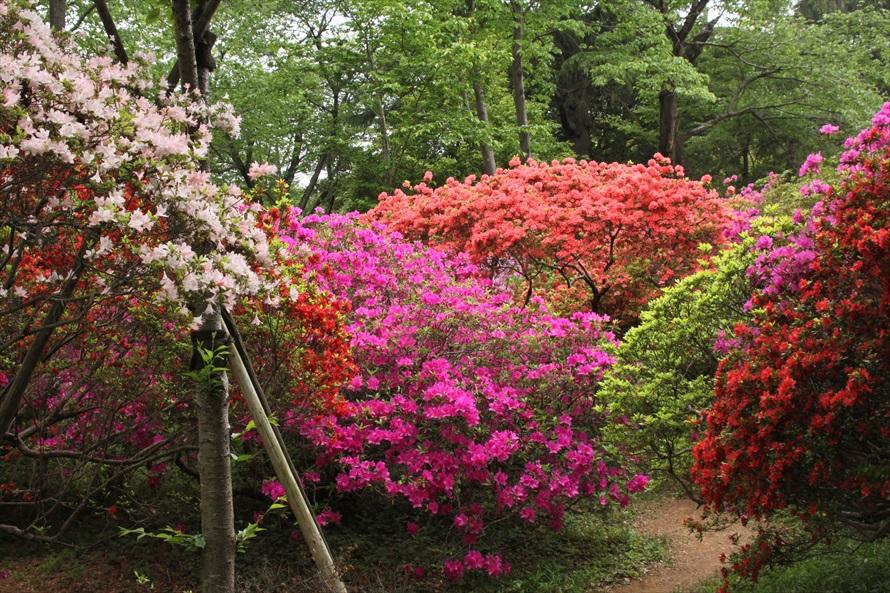 例年4月下旬頃から見頃を迎えるツツジ。色鮮やかなツツジに魅了される