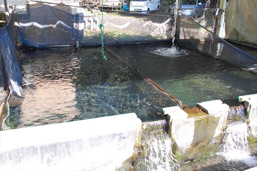 各ポンドには日々、きれいな水で管理されたニジマスが放流されている