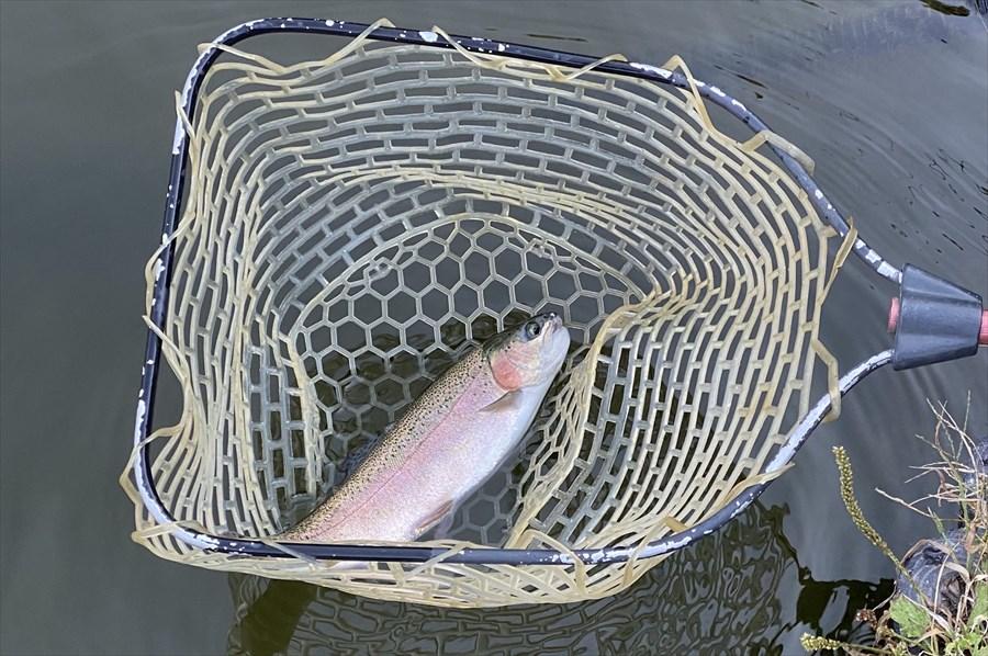 釣れた後はランディングネット(たも網)ですくった状態でルアーを外す。持ち帰らないのなら、魚に触れないのがマナー