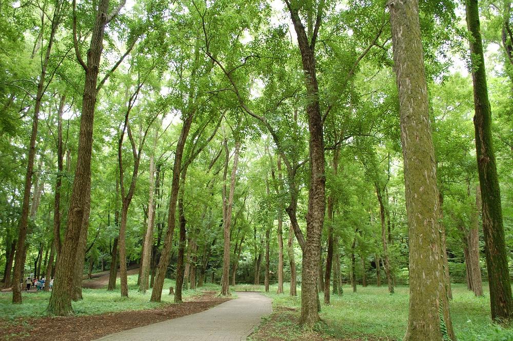 緑の屋根が涼しげな「トウカエデの林