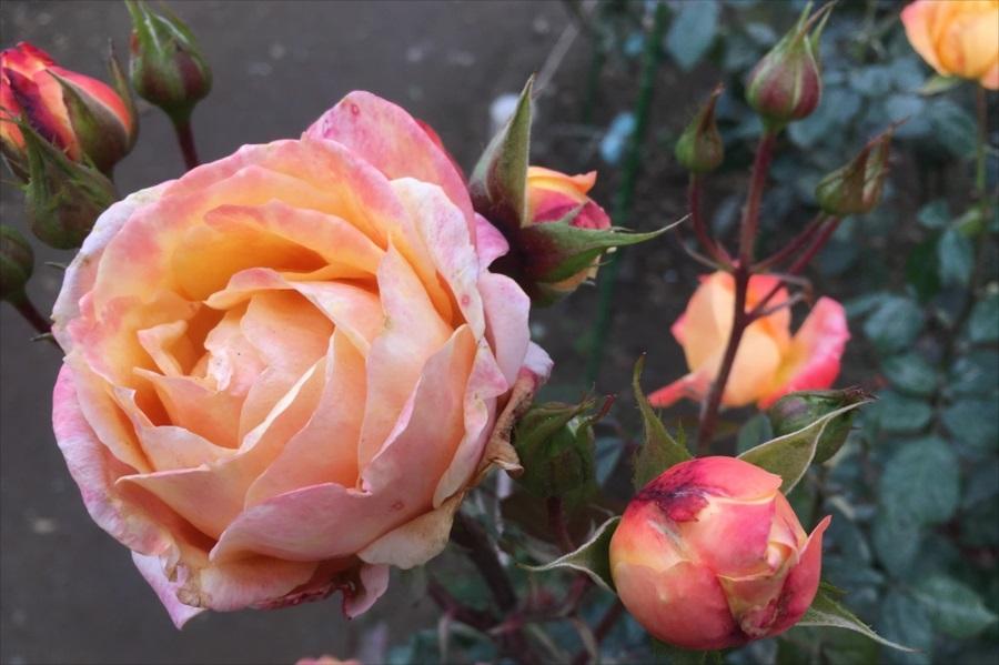バラは5月上旬~6月中旬にかけて再び見頃を迎える