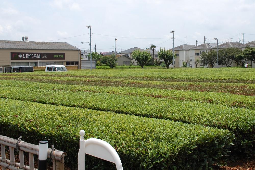 駐車場の隣に広がる緑豊かな茶畑。のどかな光景に心が和む