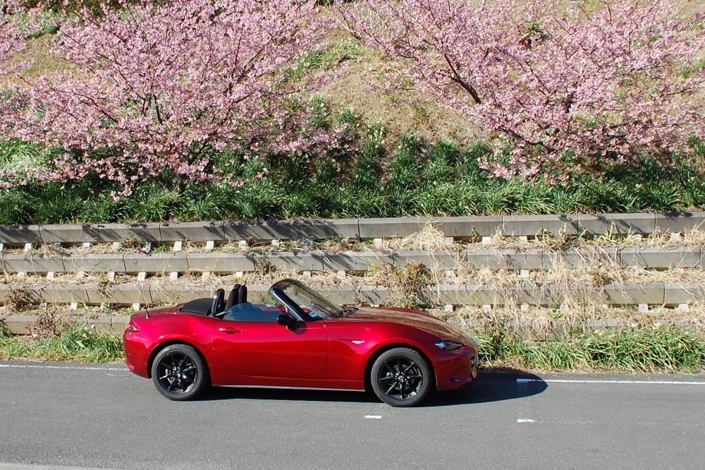 ロードスターの上で咲き誇っているのは、春の訪れを告げる河津桜