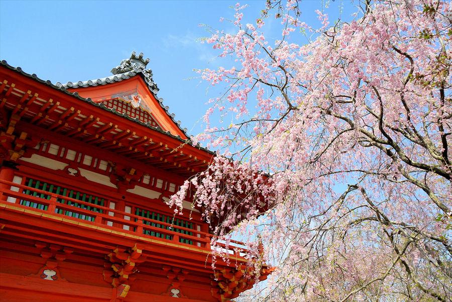 華やかなしだれ桜と園内にある「金上院仁王門」が来園者をお出迎え