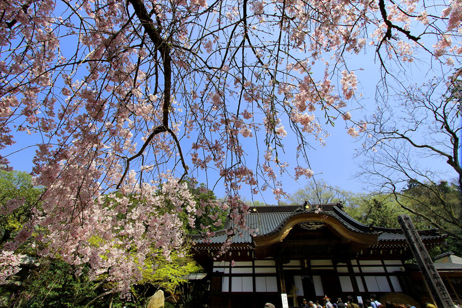 趣あふれる境内としだれ桜。映画のワンセットのような美しさ