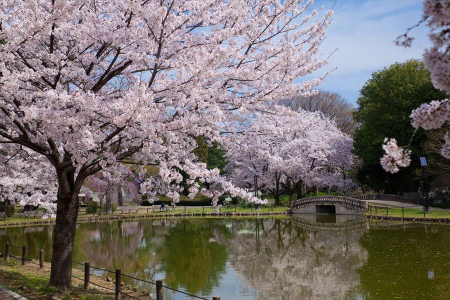 大きな池に映る桜もまた美しい