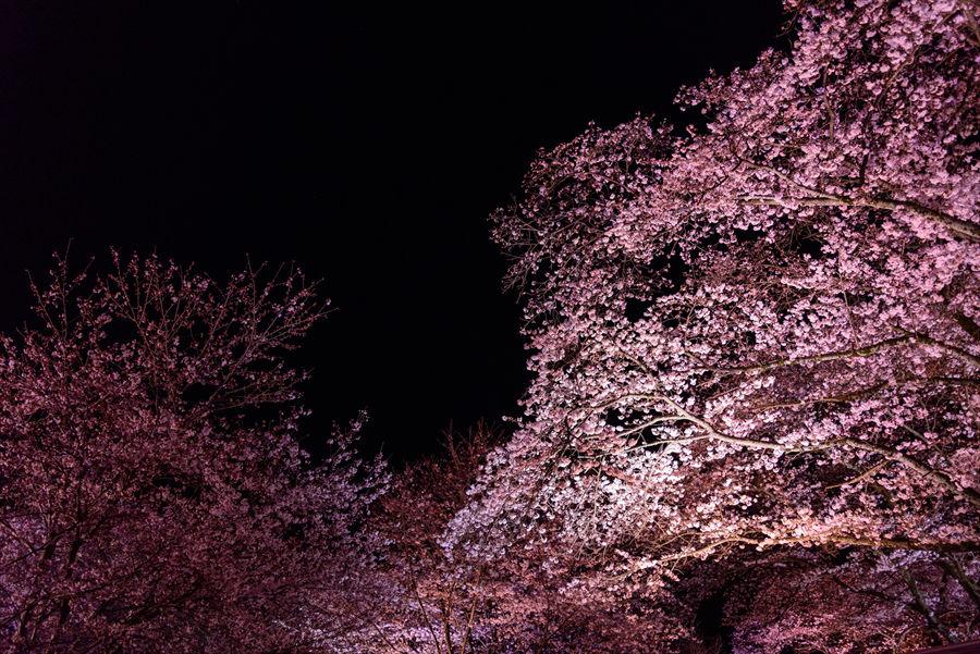 暗闇に浮かび上がる薄桃色の桜が幻想的