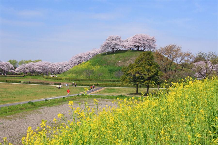 「丸墓山古墳」では、桜の満開時には菜の花も咲き、のどかな春の風景が楽しめる