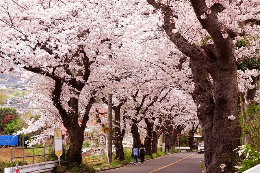 「湘南平」へ向かう坂道。満開時はピンク一色の桜のトンネルに