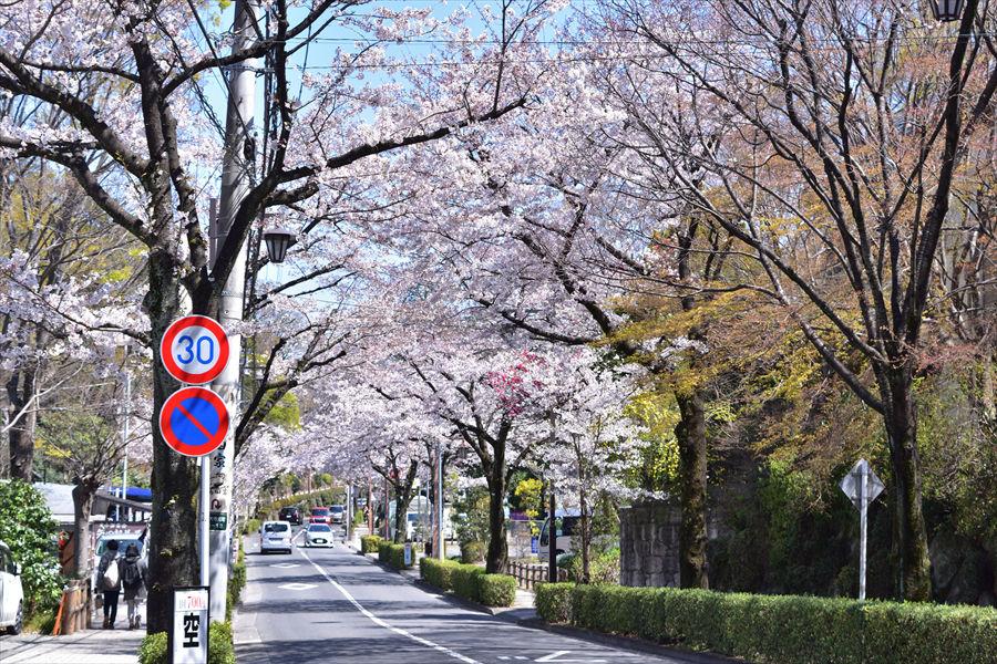 深大寺通りの桜ロードは調布名物。桜の満開時期は渋滞することも