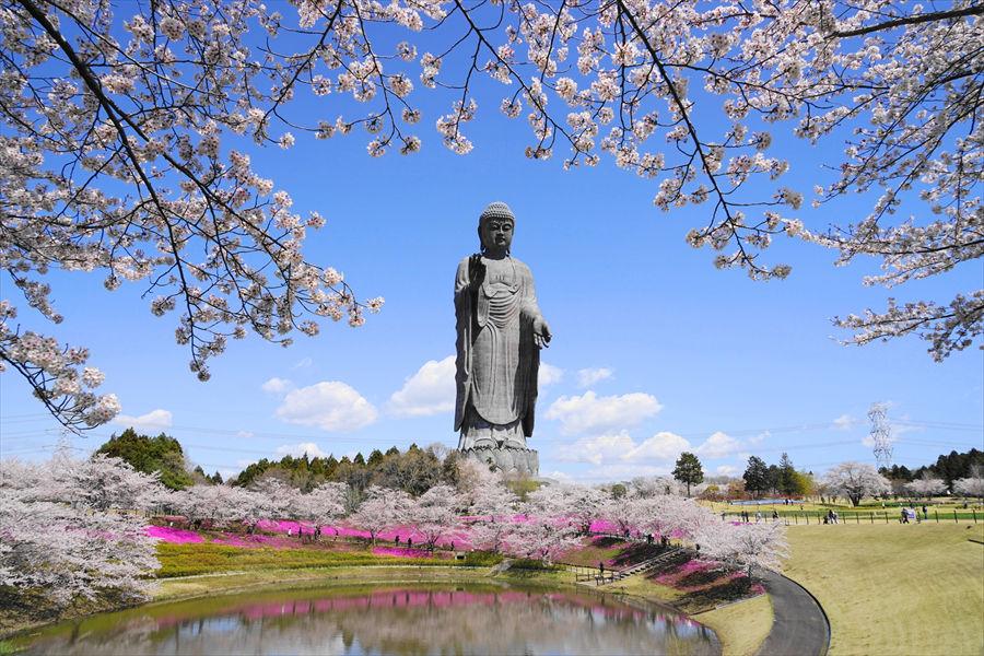 ソメイヨシノと芝桜の上にたたずむ「牛久大仏」