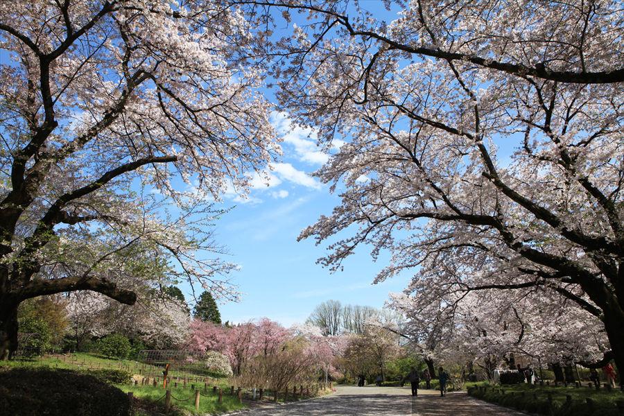 「神代植物公園」の満開の桜。散った花びらでできた薄紅色の絨毯も美しい