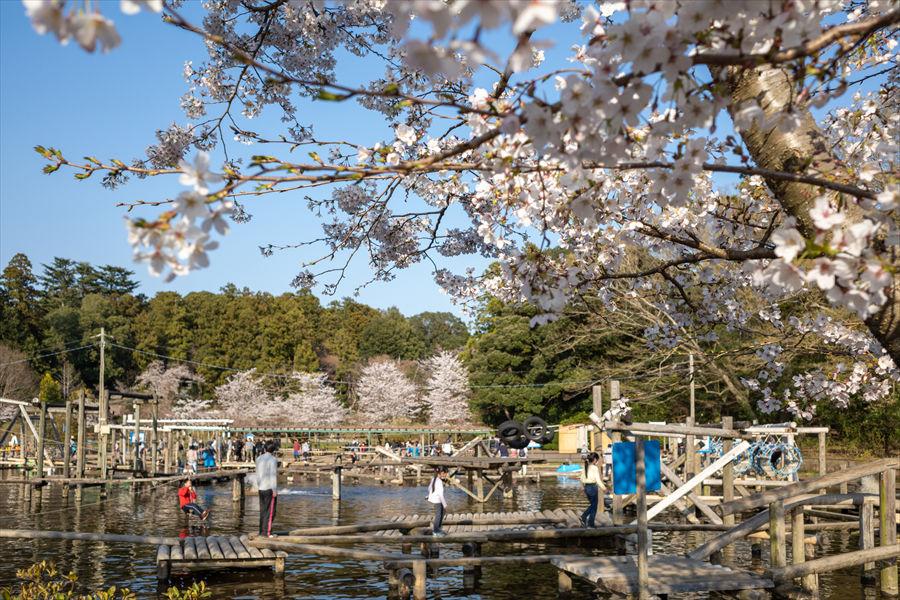 フィールドアスレチック周辺や園内のあちこちで桜を鑑賞できる