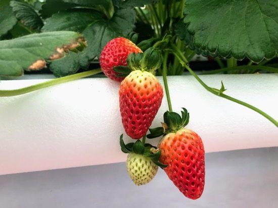 見た目も味も異なる数種類のいちごが楽しめる「STRAWBERRY FARM」