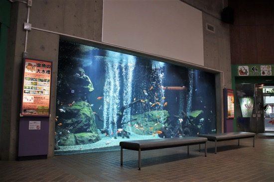 館内に入ると日本最大級だと言う巨大な金魚水槽がお出迎え。16種類もの金魚が優雅に泳いでいる