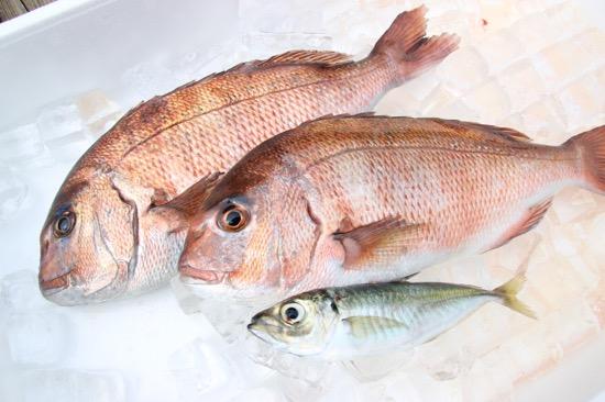 今回釣れたのはタイとアジ。他にもシマアジやカンパチ、ヒラメなども釣れるそう