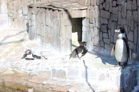 日向ぼっこをするフンボルトペンギン