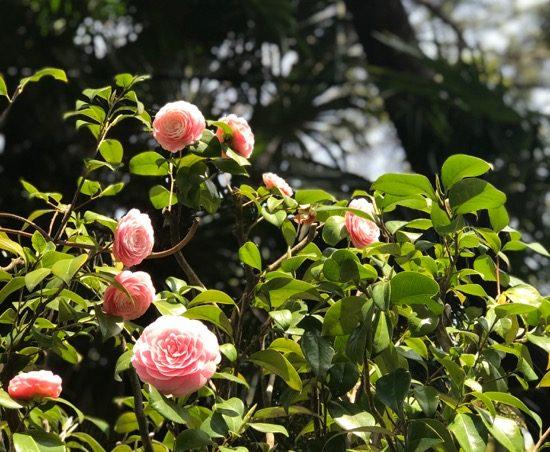訪問時はきれいな椿が咲いていました