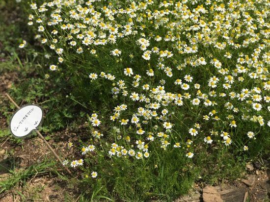 小さな花がかわいいジャーマンカモマイル