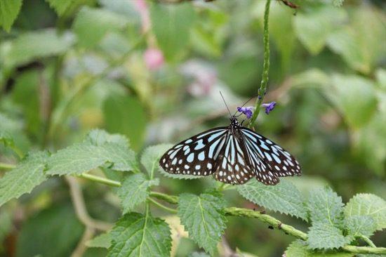 温室内にはたくさんの蝶が舞っている。20種類以上の蝶がいるというから、探してみよう