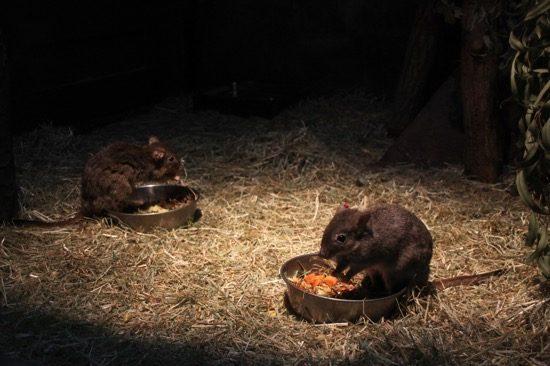 オーストラリア園「コアラ館」では、夜行性の動物にも会える。こちらはフサオネズミカンガルー
