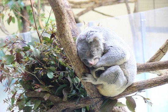 コアラはお昼寝中。狙い目はユーカリの枝を替える13時30分で、飼育員による解説もある