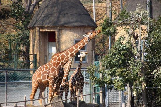多摩動物公園では昨年からキリンの誕生ラッシュ。赤ちゃんの姿が見られる